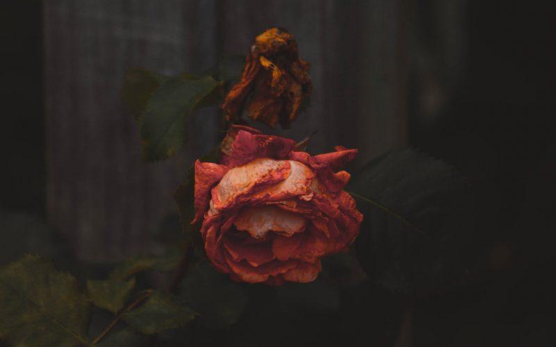 rose-death